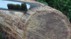 Leikkaus viipaletta puu kirjaudu moottorisahalla Arkistovideo