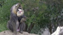 Monkey in the wild Stock Footage