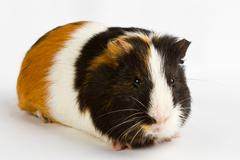guinea pig little pet rodent - stock photo