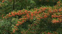 Hold + pan Firethorn, Pyracantha dark red  'Fiery Cascade' Stock Footage
