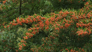 Stock Video Footage of hold + pan Firethorn, Pyracantha dark red  'Fiery Cascade'