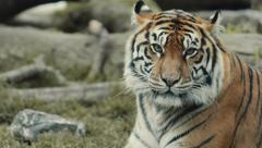 Gorgeous Tiger in Natural Setting - stock footage