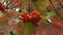 Viburnum opulus, Guelder Rose branch with fruit - close up Stock Footage