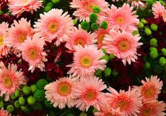 gerbera daisy - stock photo