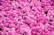 Stock Photo of pink chrysanthemum