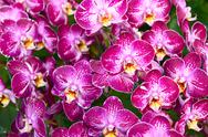 Stock Photo of pink orchid