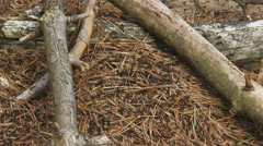 European wood ant nest, anthill in forest Stock Footage