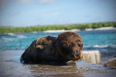 Seal Pup. Galápagos Islands - stock photo