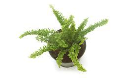 fern (bracken) houseplant in pot , isolated - stock photo
