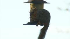 Squirrel on Bird Feeder - stock footage