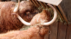 Highland Cows Stock Footage
