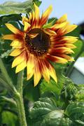 orange sunflower - stock photo
