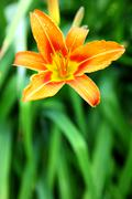 Orange lily on green background in the garden Stock Photos