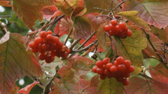 Viburnum opulus, Guelder Rose branch with fruit Stock Footage