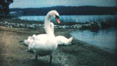 Swan Guarding Her Young On The Beach-1962 Vintage 8mm film Stock Footage