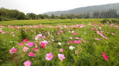 Cosmos flower field in breeze Stock Footage
