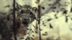 A snow leopard notices a sudden movement Stock Footage