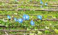 Stock Photo of blue colored morning glory flowers