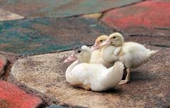Little white yellow fluffy ducklings Stock Photos