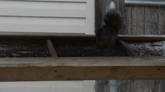 Squirrel eating from food bin - stock footage