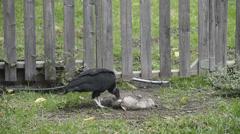 Buzzard eating Possum - stock footage