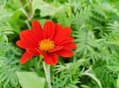 Stock Photo of red zinnia with green leaf