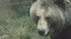 Grizzly Bear encounter Stock Footage