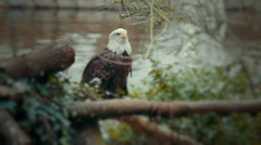 American Eagle in Tree Stock Footage