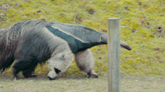 Giant Anteater Stock Footage