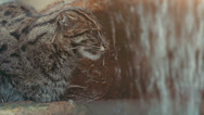 Rare and elusive Fishing Cat - HD Stock Footage