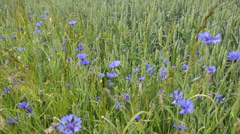 Natural blue wild cornflowers bluet in agriculture wheat field Stock Footage