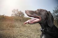 Stock Photo of german pointer