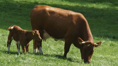Deep red cattle cow grazing + newborn calf in pasture Stock Footage