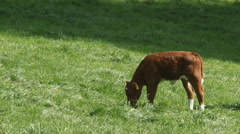 Deep red cattle calf in pasture Stock Footage