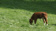Stock Video Footage of Deep red cattle calf in pasture
