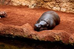 hippopotamus pigmy, hexaprotodon liberiensis - stock photo