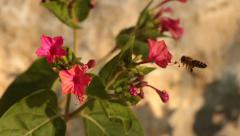 Bee and red flowers Stock Footage
