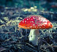 inedible hazardous to health mushrooms in the forest - stock photo