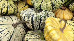 Lot of autumn pumpkin (Pattypan squash). Stock Footage
