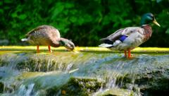 Ducks At Sharon Woods - stock footage
