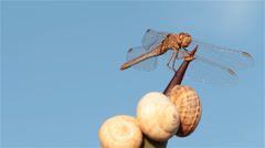 Dragonfly on a thorn 4 Stock Footage