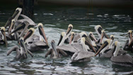 Stock Video Footage of Flock of Begging Pelicans