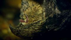 An Endangered Alligator Snapping Turtle uses its tongue to lure fish into mouth. - stock footage
