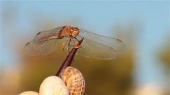 Dragonfly on a thorn 6 Stock Footage