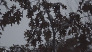 Stock Video Footage of Maple Tree Branches in Snow 120fps