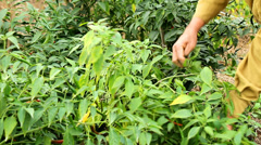 Farmers harvesting chilli in the garden Stock Footage