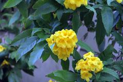 beautiful yellow tropical flowers in the garden. - stock photo
