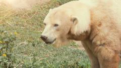 Polar Bear in the sun Stock Footage