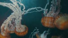 Jellyfish Swarm 2 - HD Stock Footage