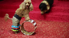 Performances dogs - stock footage